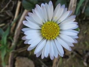 Una hermosa margarita blanca