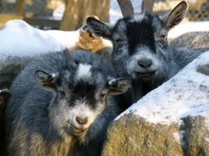 Cabras grises entre unas rocas nevadas