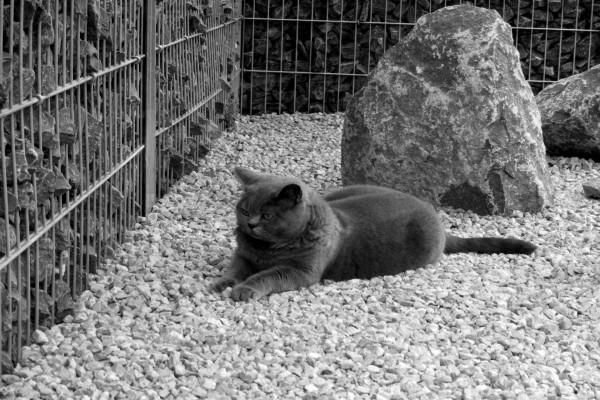 Gato gris tumbado sobre pequeñas piedras