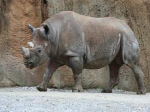 Un rinoceronte negro (Diceros bicornis)