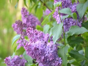 Hermosas lilas creciendo en la planta