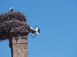 Cigüeña volando junto al nido