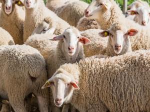 Un grupo de ovejas