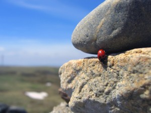 Mariquita caminando sobre una roca