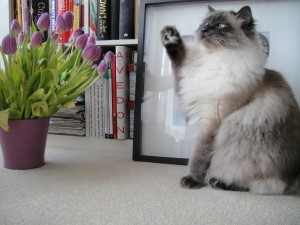 Hermoso gato levantando una pata