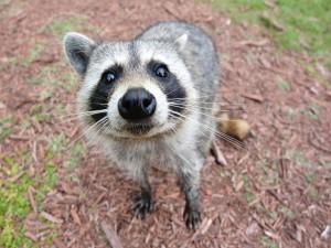 Un mapache curioso