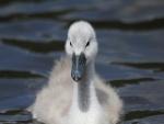 Polluelo de cisne en el agua