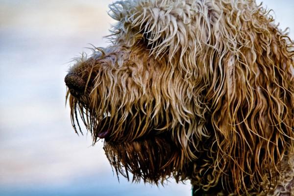 Perfil de un perro lanudo