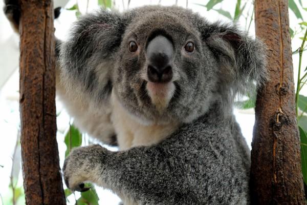Koala entre dos ramas