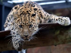 Leopardo en un zoo