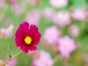 Una flor fucsia en el campo