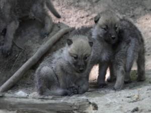 Cachorros de lobo ártico