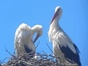 Cigüeñas en un nido
