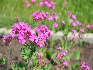 Flores de color rosa en un jardín