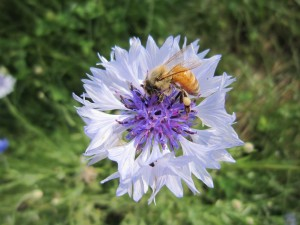 Gran abeja recogiendo el polen de una bonita flor