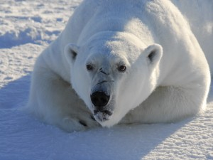 Oso polar con cara de enfado