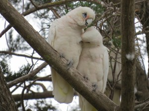 Pareja de loros blancos sobre una rama