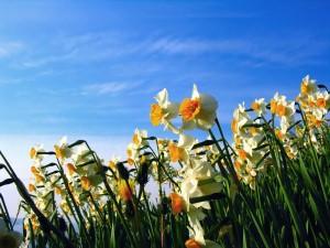 Campo de narcisos bajo un cielo azul