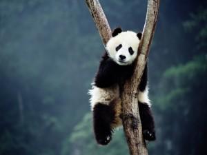 Panda gigante sobre un árbol
