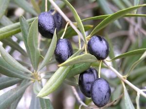 Aceitunas negras en las ramas de un olivo