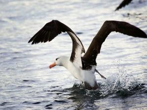 Albatros en el agua