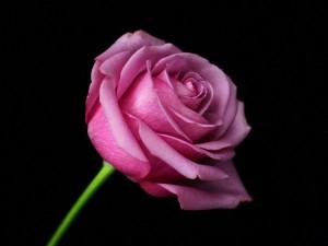 Una bonita rosa de color rosa