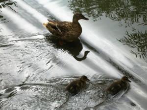 Patitos nadando junto a su madre