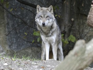Lobo mirando atentamente