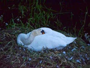 Cisne durmiendo