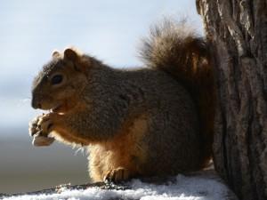 Ardilla comiendo cacahuetes en invierno