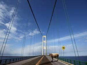 Una vaca sobre el puente