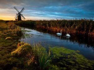 Cisnes en un estanque junto a un molino