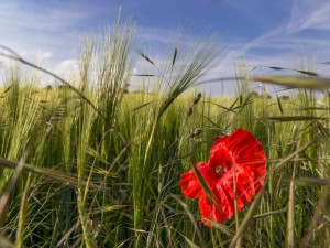 Amapola roja en un campo de centeno