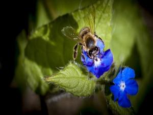 Abeja polinizando flores azules