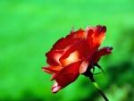 Magnífica rosa con gotas de rocío