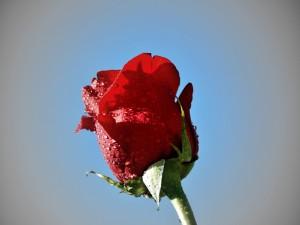 Rosa cerrada con gotas de agua