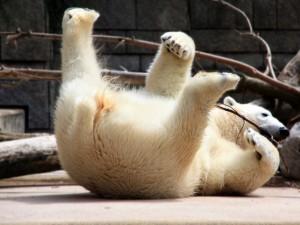 Oso polar acostado sobre su espalda