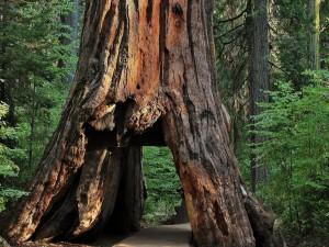 Camino a través de un gran árbol