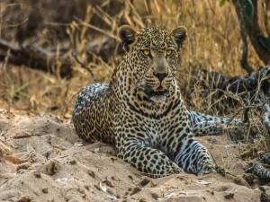 Leopardo tumbado en la arena