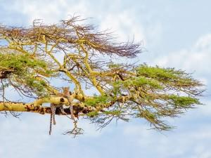 Hermoso leopardo en las ramas de un árbol