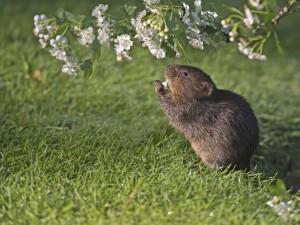 Rata de agua comiendo flores