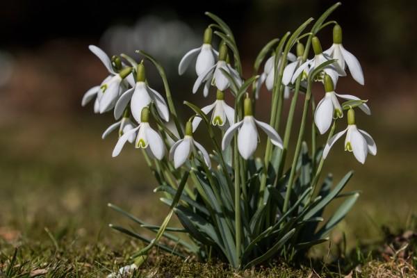 Galanto blanco (Galanthus nivalis) en primavera