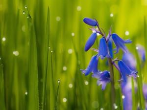 Campanillas azules con el rocío de la mañana