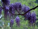 Glicinas en una rama