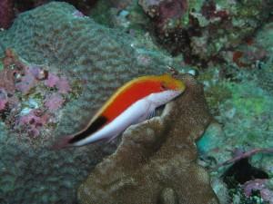 Un bonito pez (Paracirrhites forsteri)