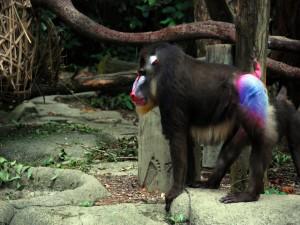 Mandril en un zoo