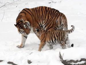 Pequeño tigre caminando sobre la nieve junto a su madre