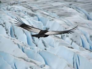 Cóndor de los Andes volando