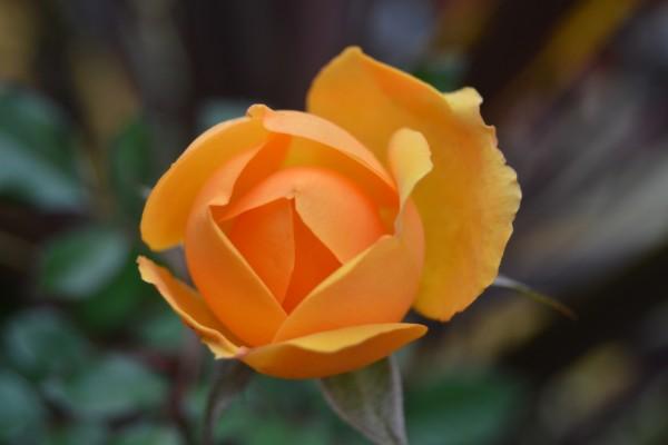 Flor con pétalos naranjas