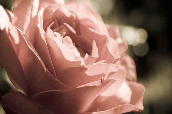 Rosa repleta de pétalos
